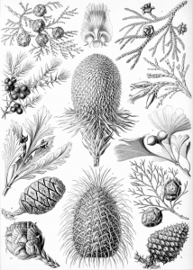 coloring-adult-vintage-black-and-white-coniferae free to print